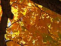 Autumn Leaves, 2015-10-10, 04.jpg