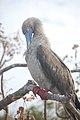 Ave en las islas Galápagos001.jpg