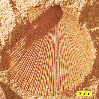 Fossil - External mold of a bivalve from the Logan Formation, Lower Carboniferous, Ohio