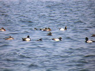Greater scaup - Flock feeding in Tokyo bay, Japan