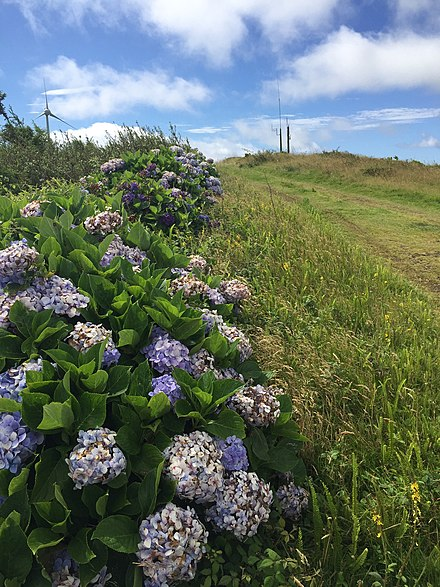 Typical roadside hedgerow of hydrangeas on Terceira, the Azores. Azores Hydrangeas.jpg