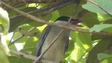 File:Azure-winged magpie (Cyanopica cyanus) in Tokyo.webm