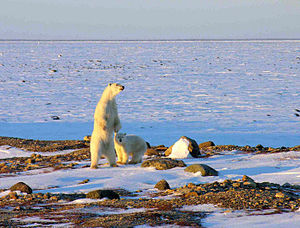 Navigating bugs, belugas and polar bears in Churchill, Canada