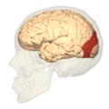 BA19 - Visual association cortex (V3) - lateral view.png