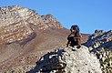 Baboon @ Steenbras River Gorge 4.jpg