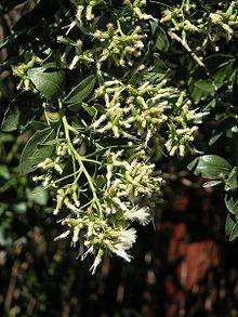 Baccharis Halimifolia Wikipedia