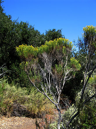 Baccharis pilularis - Baccharis pilularis in Los Osos Oaks State Preserve, San Luis Obispo County, Calif.