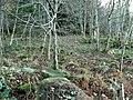 Balbridie Plantation - geograph.org.uk - 287561.jpg