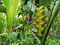 Balisier(Heliconia caribaea).jpg