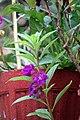 Balsam flowers 13.jpg