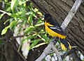 Baltimore Oriole bathing and other monkeyshines (33733663834).jpg