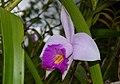 Bamboo Orchid (Arundina graminifolia) (8730926665).jpg