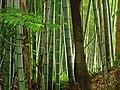Bamboo garden at Asunaro-no-sato - panoramio.jpg