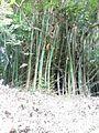 Bambusa vulgaris Schrad. ex J.C.Wendl. - La Lagunita 2013 000.jpg