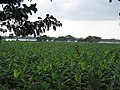 Banana Fields near Kallanai.jpg