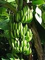 Bananas in Hawaii.jpg