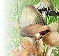 Bandeau du portail Mycologie haut droit.jpg