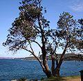 Banksia integrifolia integrifolia Manly2 email.jpg