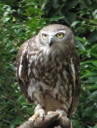 Barking Owl.jpg