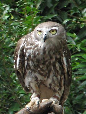 Beardy River - Image: Barking Owl