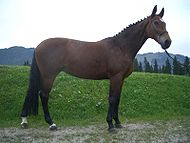 Bavarian Warmblood.jpg