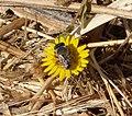 Bee. Male Megachile (33107074886).jpg