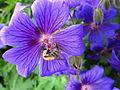 Bee + Cranesbill (4).JPG