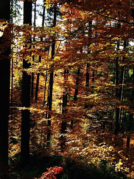 File:Beeches In Autumn - panoramio.jpg