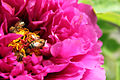 Bees and Peony.JPG