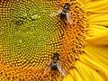 Bees on sunflower.JPG