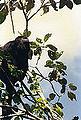 Belize 1996 Howler.jpg