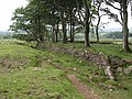 Belt of trees near Harrowthorn Plantation - geograph.org.uk - 1364687.jpg