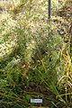 Berberis sanguinea (Berberis panlanensis) - Quarryhill Botanical Garden - DSC03288.JPG