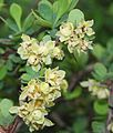 Berberis thunbergii (flower s2).jpg