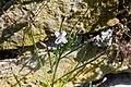 Bergdunört. Epilobium montanum-3075 - Flickr - Ragnhild & Neil Crawford.jpg
