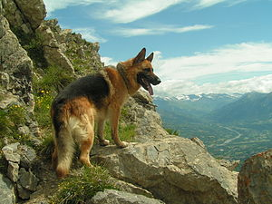 A German Shepherd dog on a mountain. Română: U...