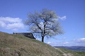 Beskid Sądecki - samotne drzewo.JPG