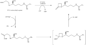 Clavulanic acid - Image: Beta lactam synthetase mechanism