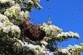 Bienenschwarm auf Apfelbaum in der Boberger Niederung.jpg