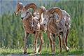 Bighorn Sheep (4276630893).jpg