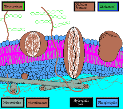Cell Biology/Membranes - Wikibooks, open books for an open world