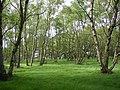 Birches, Chevin Country Park, Otley - geograph.org.uk - 177041.jpg
