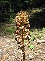 Bird's-nest Orchid - Neottia nidus-avis - panoramio (1).jpg