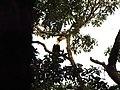 Bird Great Hornbill Buceros bicornis IMG 8659 01.jpg