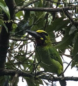 Black-banded Barbet.jpg