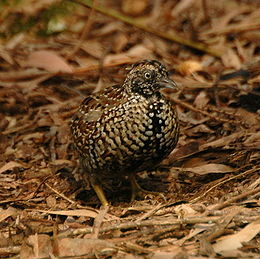 Black-breasted Button-quail (Turnix melanogaster)