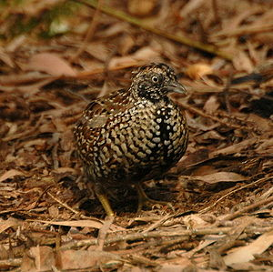 Buttonquail - Black-breasted buttonquail (Turnix melanogaster)