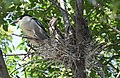 Black-crowned Night-Heron young and parent (48432229567).jpg