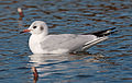 Black-headed gull in Sakai, Osaka, February 2016.jpg