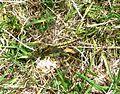 Black-tailed skimmer female. Orthetrum cancellatum - Flickr - gailhampshire.jpg